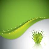 Aloe Vera Royalty Free Stock Photo