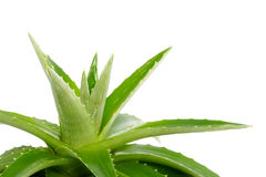 Aloe vera - curative plant Royalty Free Stock Photography