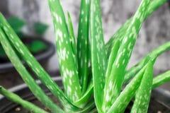 Aloe vera del primo piano in vaso, per cura di pelle Fotografie Stock Libere da Diritti