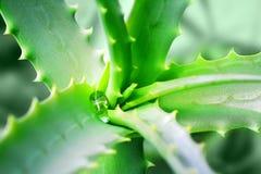 Aloe Vera della pianta medicinale Goccia di acqua sulle foglie dentellate verdi Fotografia Stock