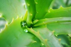 Aloe Vera della pianta medicinale Goccia di acqua sulle foglie dentellate verdi Immagine Stock Libera da Diritti