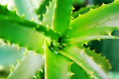 Aloe Vera della pianta medicinale Goccia di acqua sulle foglie dentellate verdi Immagini Stock Libere da Diritti