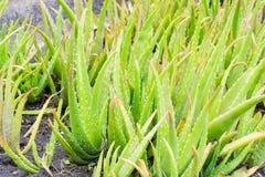 Aloe Vera in den Gärten Lizenzfreie Stockbilder