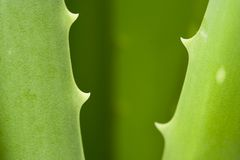 Aloe vera detail Royalty Free Stock Photos
