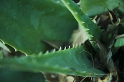 Aloe Vera di Savila Fotografia Stock