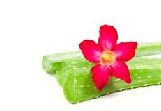 Aloe vera e fiore del adenium. Fotografia Stock