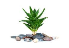 Aloe vera e pietre isolate su bianco Fotografie Stock