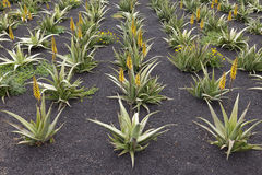 Aloe vera field Royalty Free Stock Images