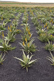 Aloe vera field Stock Image