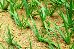 Aloe vera field Royalty Free Stock Image