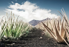 Aloe vera field Royalty Free Stock Photo