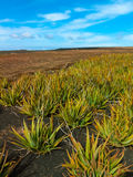 Aloe vera field on Canary Islands Royalty Free Stock Photos