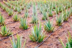 Aloe Vera field at Canary Islands Spain Stock Photos