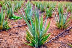 Aloe Vera field at Canary Islands Spain Stock Photo