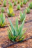 Aloe Vera field at Canary Islands Spain Royalty Free Stock Photos