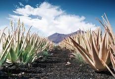 Aloe vera field Stock Photos