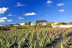 Aloe vera field Royalty Free Stock Photos