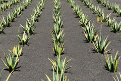 Aloe Vera field, Lanzarote Island, Canary Islands, Spain Stock Image