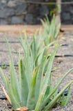 Aloe vera field. Royalty Free Stock Photo