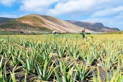 Aloe Vera Fields Plantation In Lanzarote, Canary Islands, Spain Stock Photo