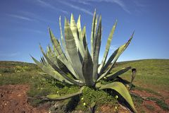 Aloe Vera in the fields of Portugal Stock Images