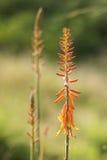 Aloe vera in fiore Immagini Stock Libere da Diritti