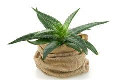Aloe in fiore - vaso Immagine Stock Libera da Diritti