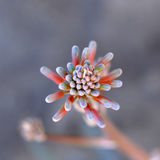 Aloe Vera flower Royalty Free Stock Image
