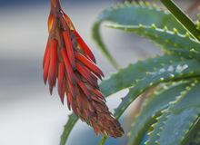 Aloe Vera Flower. Bud closeup Royalty Free Stock Image