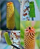 Aloe vera flower buds Stock Image
