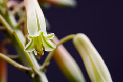 Aloe vera flower with details Royalty Free Stock Photos