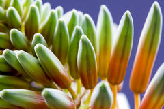 Aloe vera flower with details Stock Photo
