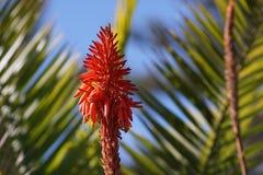 Aloe Vera flower, palm leaves background Stock Photo