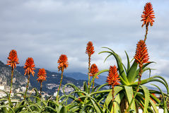 Aloe vera flowers in Monaco landscape Stock Photos