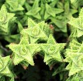 Aloe vera a forma di come una stella Immagini Stock