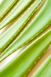 Aloe vera fresh leaf Stock Photo