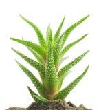 Aloe vera fresh leaf closeup Royalty Free Stock Image