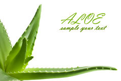 Aloe vera fresh leaf closeup Royalty Free Stock Images