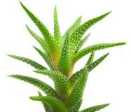 Aloe vera fresh leaf. Stock Photos