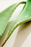 Aloe vera fresh leaves Stock Photos