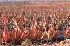Aloe vera, Fuerteventura Fotografia Stock