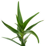Aloe Vera getrennt auf Weiß Stockfotos