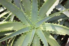 Aloe vera in Glasgow's Botanic Garden Stock Image