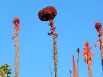 Aloe vera guardian of the garden Stock Photo