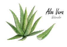 Aloe vera  .Hand drawn watercolor painting on white background.Vector illustration Royalty Free Stock Photos