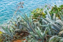 Aloe Vera on the hill. Mediterranean island with Aloe Vera on the hill with turquoise sea water in the background, Greece, Skiathos, 2018 stock photography