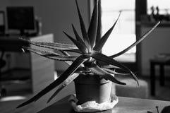 Aloe Vera i en brun kruka Stor härlig aloe Vera på den svarta tabellen arkivfoto