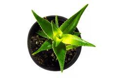 Aloe vera i krukan som isoleras mot vit bakgrund royaltyfria foton
