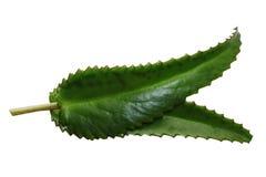 Aloe vera isolata Immagini Stock Libere da Diritti