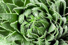 Aloe vera isolata su bianco Fotografia Stock Libera da Diritti